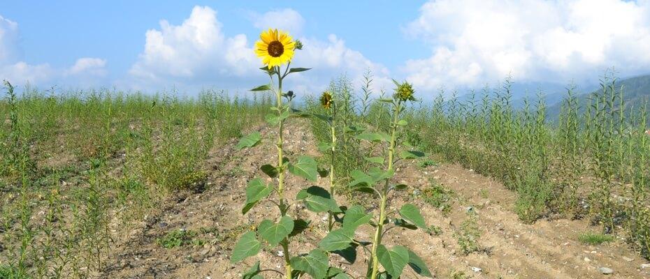 Sonnenblume am Feld